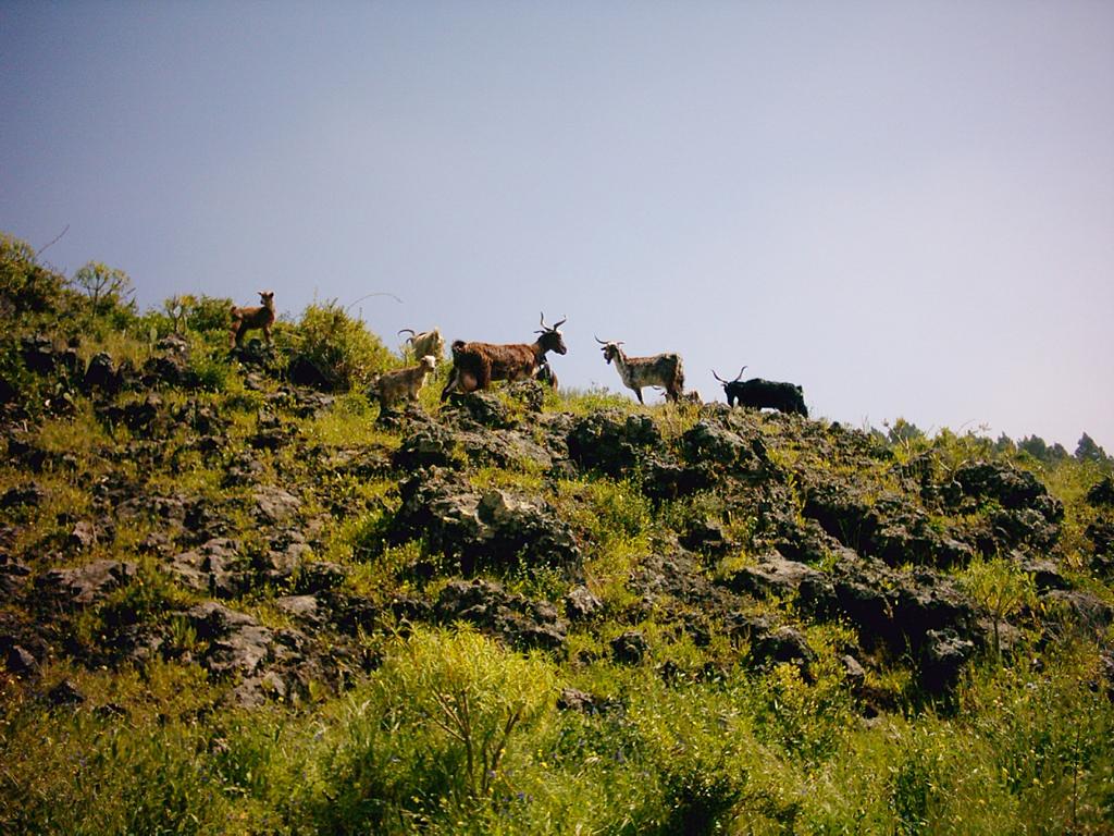 La cabra palmera un valor muy en alza
